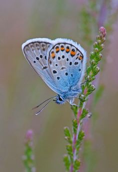 Silver-Studded-Blue-male