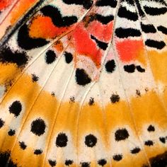 Wild Butterfly!  (A leopard lacewing, up close and fabulous!)