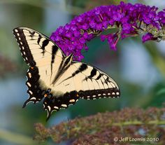 Tiger Swallowtail Butterfly - Photo by Jeff Loomis