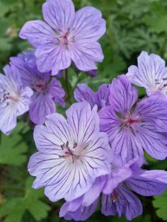 Grows well in sun or part shade but will also tolerate full shade. Grow in any moderately fertile soil other than waterlogged. Flowers May-Oct and is a good ground cover spreading up to Height Herbaceous Perennials, Spring Garden, Plants, Beautiful Flowers, Geraniums, Perennials, Flowers, Garden Plants, Perennial Garden