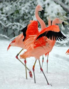 12_Flamingos in snow 3 CWP (Louise Peat photographer)