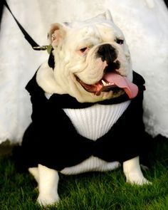 This would be a cute idea for our bulldog Capone! I would love to be able to have him dressed like this.. Maybe for our save the dates