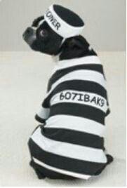 Pin By Lynne Scott On Bts All Dressed Up Big Dog Halloween