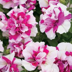 Supertunia® Double Peppermint Petunia hybrid    Bought some of these today along with other double petunias. Gorgeous!!!