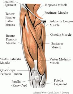 Thigh Muscles | Thigh Muscles