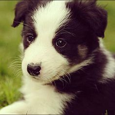 Border Collie puppy  #bordercollie  #border  #collie  #blackandwhite  #cute  #supercute  #adorable  #puppy  #dog  #silky  #puppies  #dogs  #border #collie #pictures