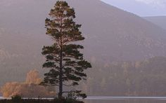 A Scots pine stands sentinel-like at the edge of Loch an Eilein deep in the Scottish Highlands.  Picture: blickwinkel / Alamy