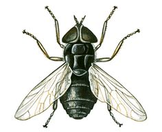 Image result for house fly diagram inspiration question mark horse flies ccuart Gallery