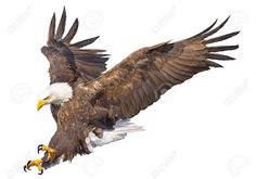 Illustration about Bald eagle swoop attack hand draw and paint on white background animal wildlife vector illustration. Illustration of wings, hunter, color - 98494433 Eagle Images, Eagle Pictures, Eagle Painting, Boat Painting, Eagle Drawing, Eagle In Flight, Eagle Art, Eagle Tattoos, Work With Animals
