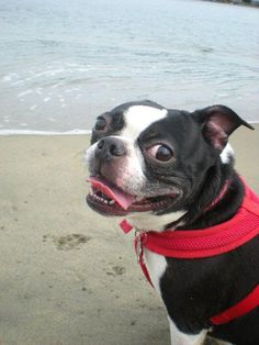 Photo of Ruby the Boston Terrier at the Beach. Ruby is from Bath, Maine, United States.  http://www.bterrier.com/ruby-the-boston-terrier-from-bath-maine-at-the-beach/  Like Boston Terrier Dogs on Facebook : http://www.facebook.com/bterrierdogs