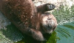 Rescued Sea Otter Pup on Exhibit