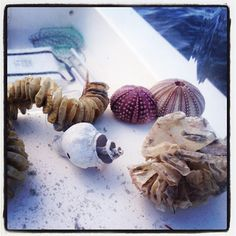 weathered Tulip (maybe), Whelk Egg Case, Sea Urchins, and Horse Conch Egg Case