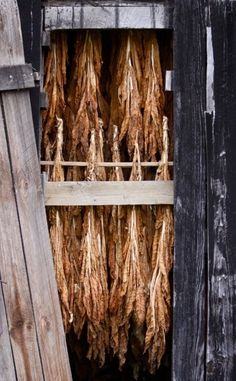 Tobacco curing in a bent barn -in Scott County by Nancy Royden photographer for the Graphic News