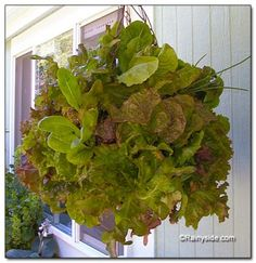 Moss Lettuce Basket...great for Apts/ Limited Space and Handicap Access!