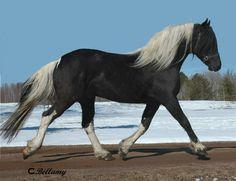 black tobiano - 1/2 Friesian 1/4 Saddlebred 1/4 Arabian stallion Leonardo Norsk