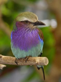"Lilac Breasted Roller    This colorful bird ranges throughout eastern and southern Africa. It is named for its courtship flight, which involves flying up high then plummeting, while screaming and ""rolling""—rocking its body and wings from side to side."