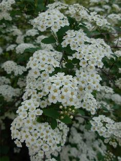 Bridal wreath - we had these when I was little and the bumblebees loved them as much as I did...and do!