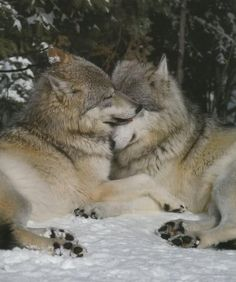 Wolf love / pair of wolves in the forest woods / animal / nature photography