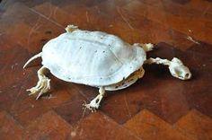 Soft turtle skeleton Animal Anatomy, Animal Bones, Tortoises, First Tattoo, Skeletons, Turtles, Creatures, Tutorials, Animals
