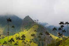 Wax Palms scattered on the hills in the Cocora Valley - Valle De Cocora in Salento, Colombia South America Travel, Beautiful Landscapes, Places To Travel, Travel Inspiration, Globe, Cupcake, Wax, Environment, Bucket