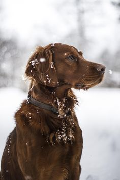 Enjoying the snow - Irish setter out in the snow.