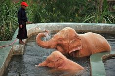 White elephants!  This picture taken on March 26 shows a caretaker bathing white elephants in Naypyidaw, Burma.  Kings and leaders have traditionally treasured white elephants, whose rare appearances are believed to herald good fortune, including power and political change.