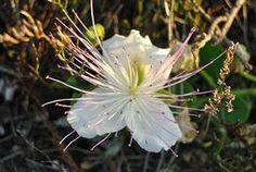 Fiore del cappero, Favignana   #caperflower #cappero
