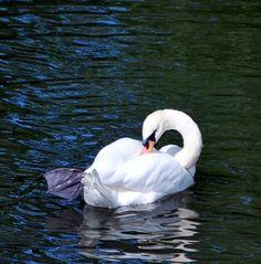 Swan...lake!
