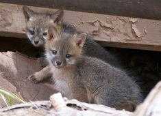 What is a baby fox called? A baby fox is called a kit. Fox kits are on their own after about five months. Foxes feed on insects, earthworms, small birds and mammals, eggs, carrion, and vegetable matter, especially fruits. Unlike other members of the dog family, which run down their prey, foxes usually hunt by stalking and pouncing. They are known for their raids on poultry but are nonetheless very beneficial to farmers as destroyers of rodents. The smallest fox is the fennec, or desert fox…