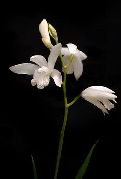 White Bletilla Orchids Photograph