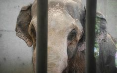 Packy, a 54-year old Asian elephant currently held captive at the Oregon Zoo desperately needs you.