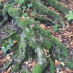 #woodland #tree #forest #inspiration #nature #trees #roots #moss Amy Rose, Tree Roots, Tree Forest, Woodland, Trees, Fruit, Instagram Posts, Nature, Inspiration