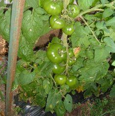 Coltivare i pomodori. Il problema dei palchi troppo distanziati - Coltivare l'orto