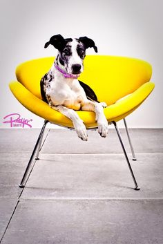 Pets on Furniture Contest.My nephew Diego Robyn Arouty Photography Chair Photography, Animal Photography, Super Cute Animals, Adorable Animals, Pet Ramp, Pet Style, Black And White Dog, Dane Dog, Dog Shower