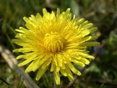 Kouzelné bylinky - Pampeliška lékařská