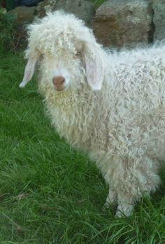 ♔ Angora goat ~ Normandy ~ France