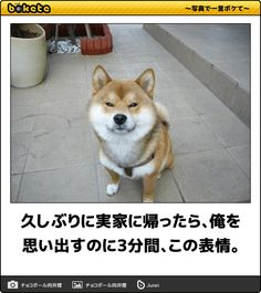夏の終わりは笑いと共に!ツボをジワジワ突いてくる犬のボケて17選 | CuRAZY [クレイジー] Cute Baby Animals, Animals And Pets, Funny Animals, Shiba Inu, Pet Dogs, Dog Cat, Japanese Dogs, Akita, Funny Cute
