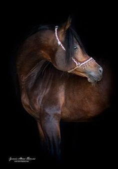 Beautiful Horse Pictures, Beautiful Horses, Arabic Horse, Round Pen, Horse Photos, Horse Training, Horse Breeds, Thoroughbred, Back To Black