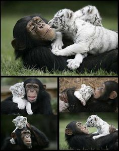 Anjana the chimpanzee at The Institute of Greatly Endangered and Rare Species in South Carolina has become a surrogate mother to two white tiger cubs after they were separated from their mother.