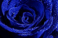 Imagini pentru poze cu trandafiri albastri