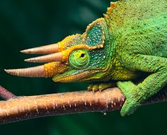 Jackson's Chameleon  A particularly wild-looking species of chameleon, with a three-horned head that gives it the appearance of a miniature Triceratops.