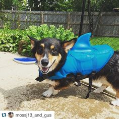It's a #Shorgi kind of weekend! Meet Gus! Checkout our #SaltedCorgi collection at WelshWear.com #SharkCorgi #CorgiShark #corgi #corgination #ETLTIL #Repost @mossj13_and_gus .  #SharkWeek !!!!!! #CorgiShark !!!!!!! #corgi #corgination
