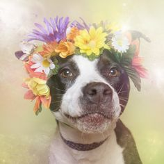 """Sophie Gamand is hoping her new photo series will help people see pit bulls as dogs who embody the """"power of love and the softness of flowers."""""""