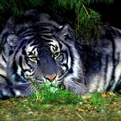Black Tiger (Melanistic Tiger) rendering of what they might look like.