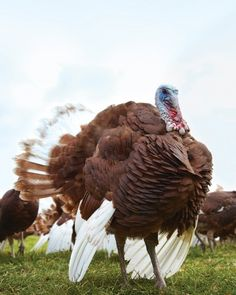 Learn all about heritage turkeys just in time to put in your order for this year.
