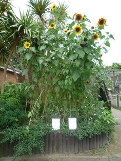 Sunflower Garden Ideas grow a sunflower house for the kids to play in Your Guide To Planting A Sunflower Garden
