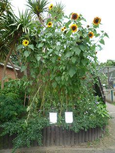 Sunflower Garden Ideas sunflowers zinnias and dahlias garden design calimesa ca Your Guide To Planting A Sunflower Garden