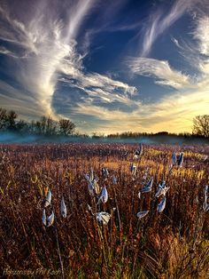 Milkweed | by Phil~Koch