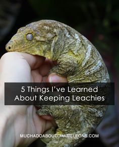 5 Things I've Learned about Keeping Leachies Chameleons, Biologist, Geckos, Reptiles And Amphibians, 5 Things, Snakes, Learning, Pets, Animals
