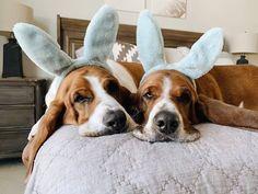 Who else is full of Easter eggs? Hoppy Easter, Easter Eggs, Sherlock, Children, Dogs, Cotton, Young Children, Kids, Doggies
